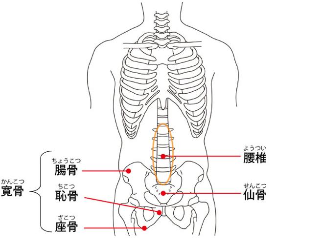 腰 解剖図